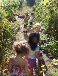 harvesting vegetables with kids